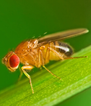 Closeup shot of fruit fly